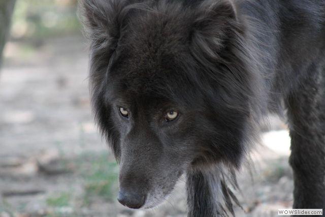 Audacieuse Blue Bay Shepherd | American Wolfdog | Chien loup, Chien loup HZ-43