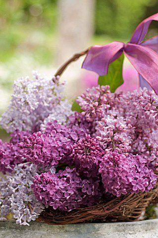 3 Lilacs Beautiful Flowers Lilac Flowers Flower Garden