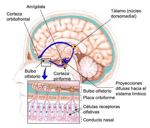 Psicobiología De Los Sentidos El Olfato Psicobiología