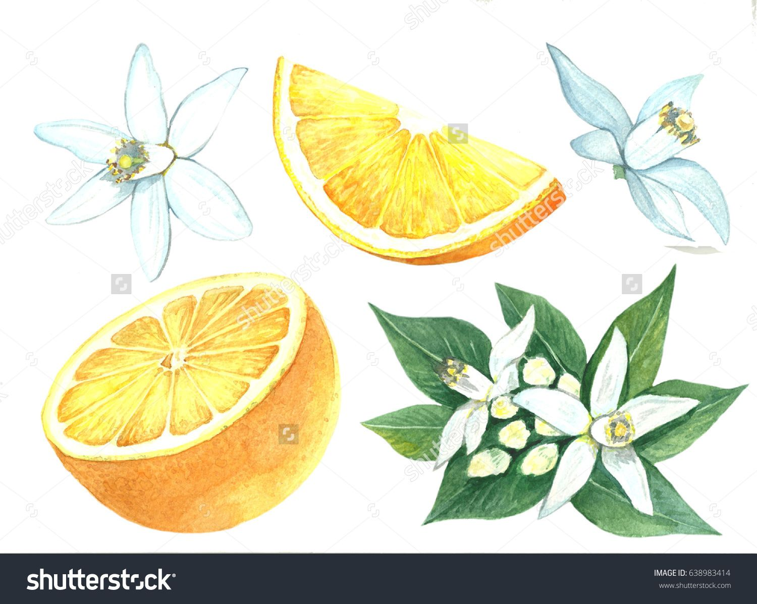 Manual Drawing Of Watercolor Fruit A Set Of Citrus Fruits Flowers