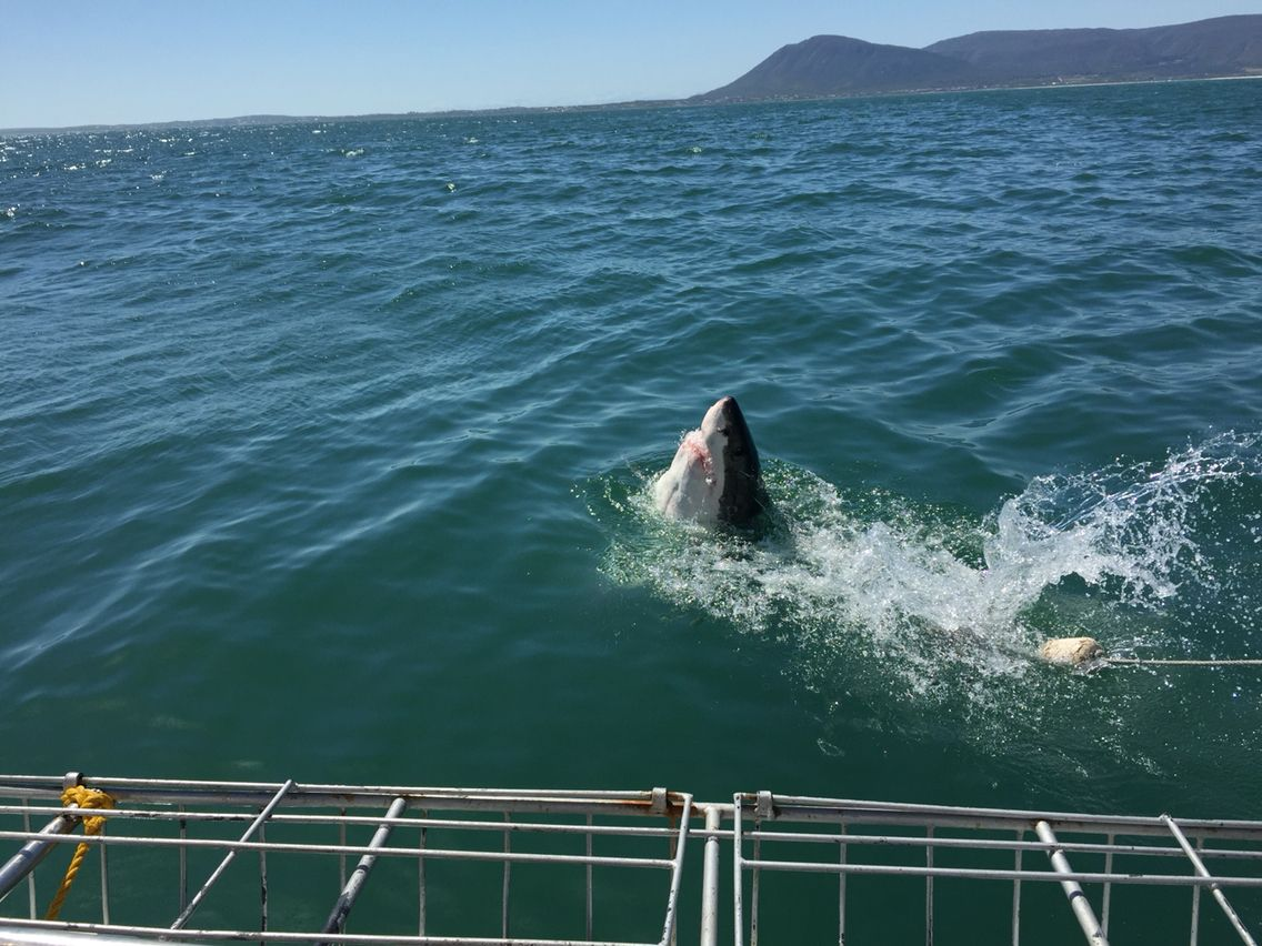 Gansbaai South Africa. Shark cage diving