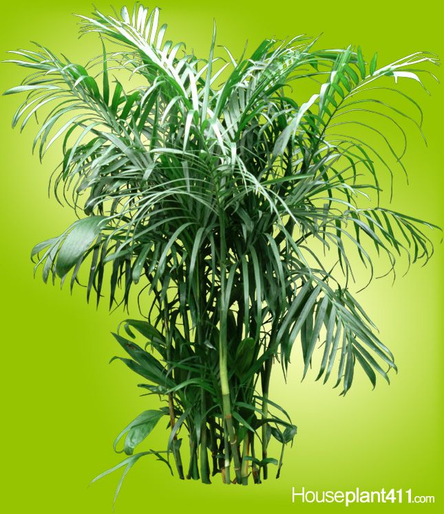 Bamboo Palms make great #houseplants easy care low light clean the air  sc 1 st  Pinterest & Bamboo Palms make great #houseplants easy care low light clean ... azcodes.com