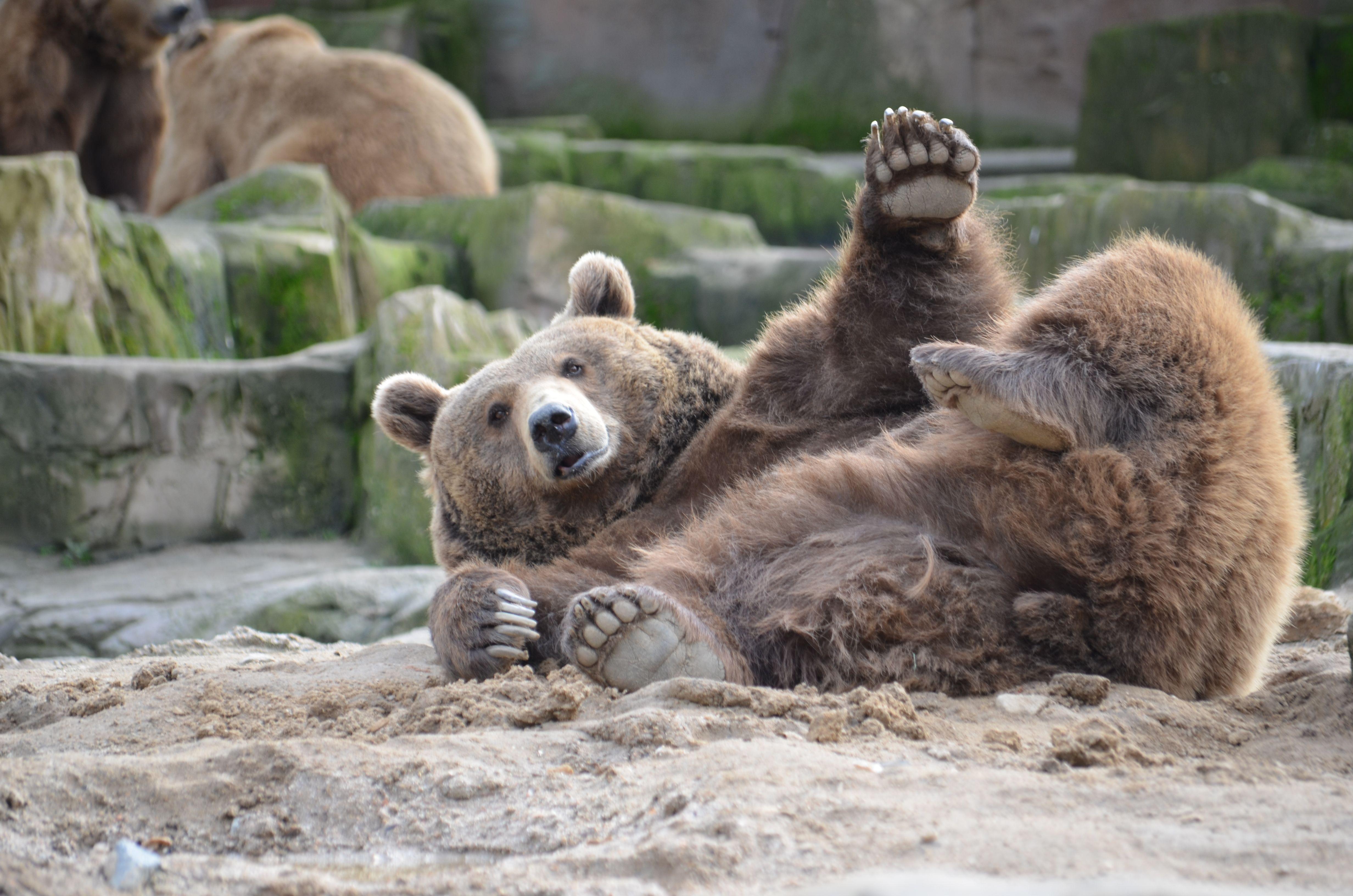 El oso pardo (Ursus arctos) Los osos pardos adultos son poderosos ...
