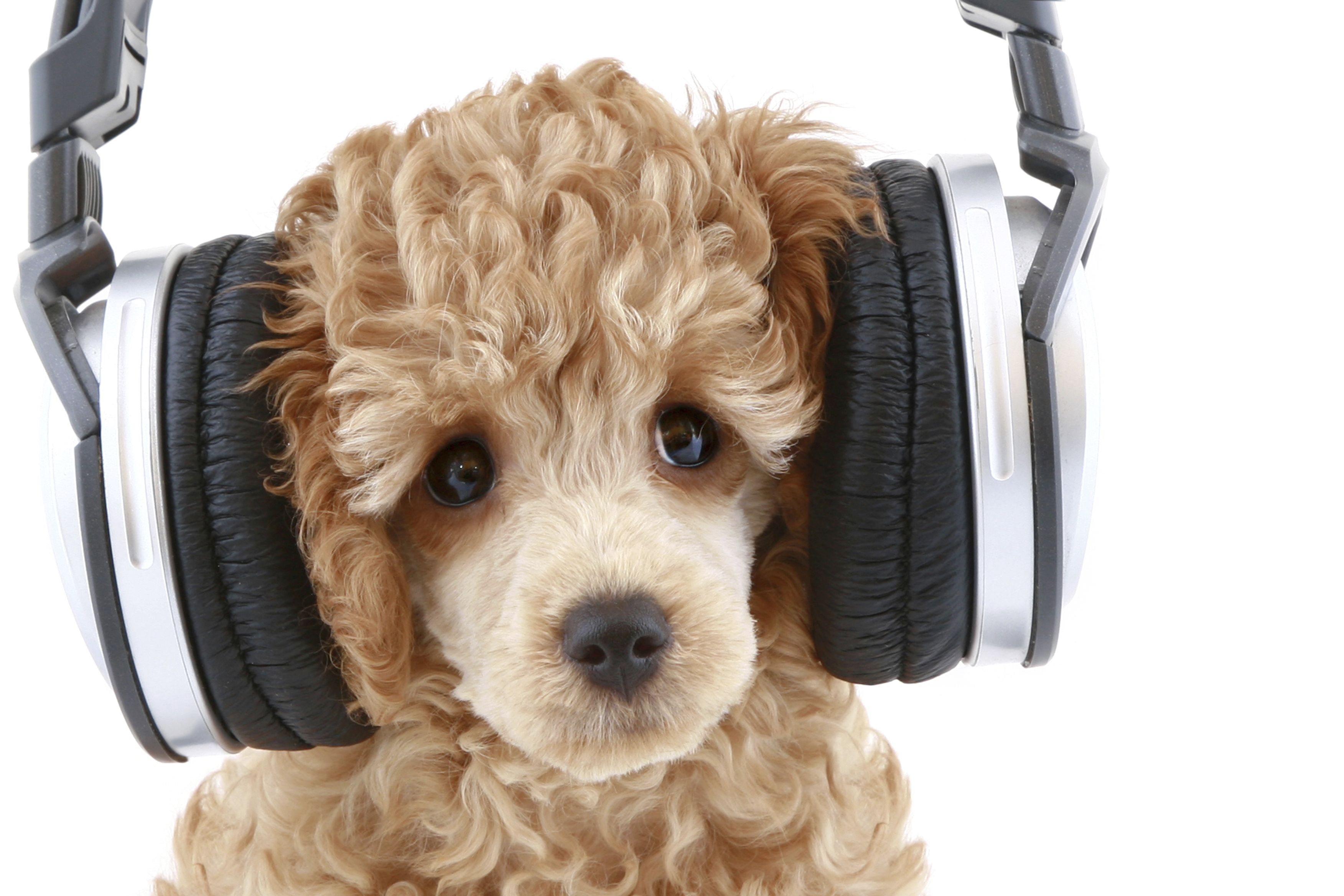 Image result for dogs wearing headphones