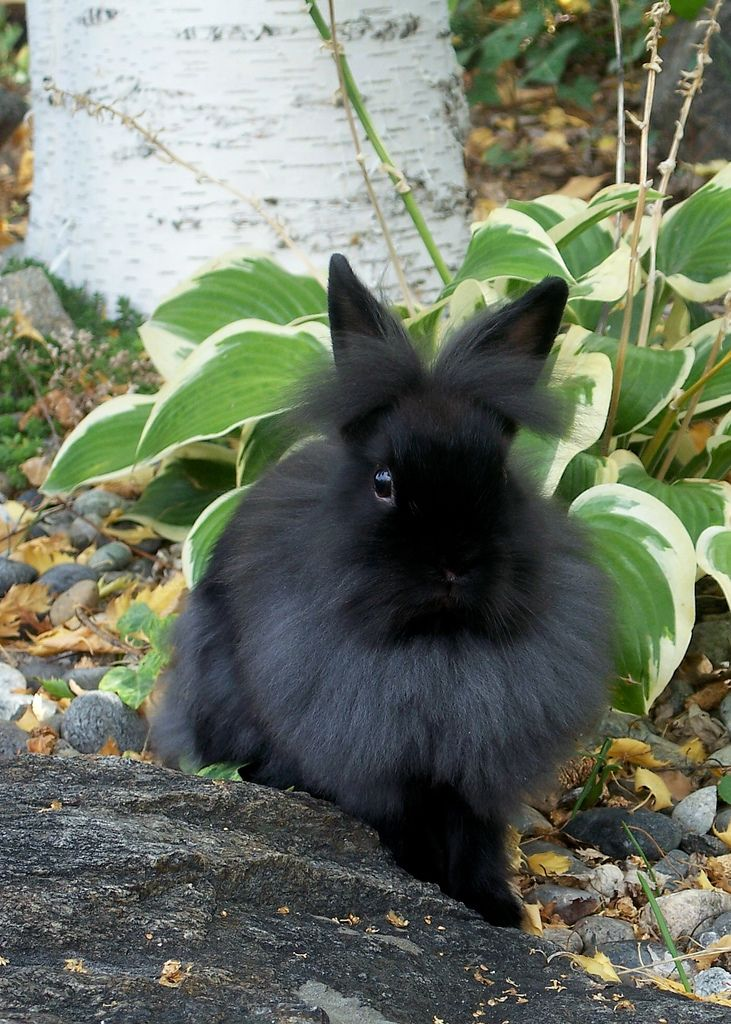 Brown and white lionhead rabbit - photo#35