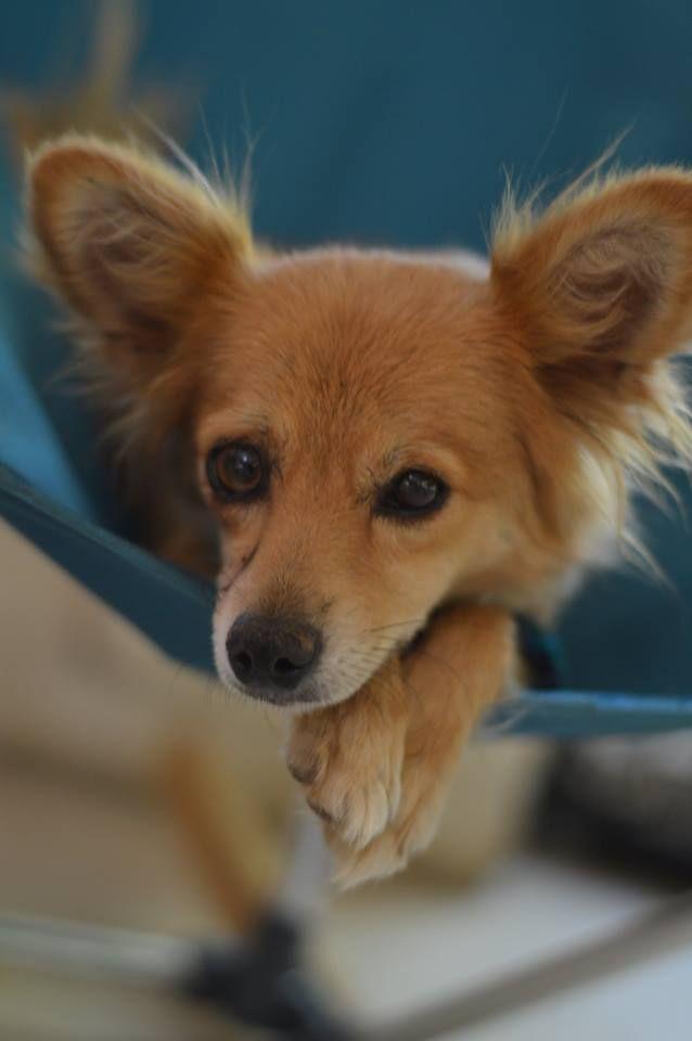 Paperanian Dog For Adoption In Vacaville Ca Adn 606581 On Puppyfinder Com Gender Female Age Adult Dog Adoption Hybrid Dogs Dogs