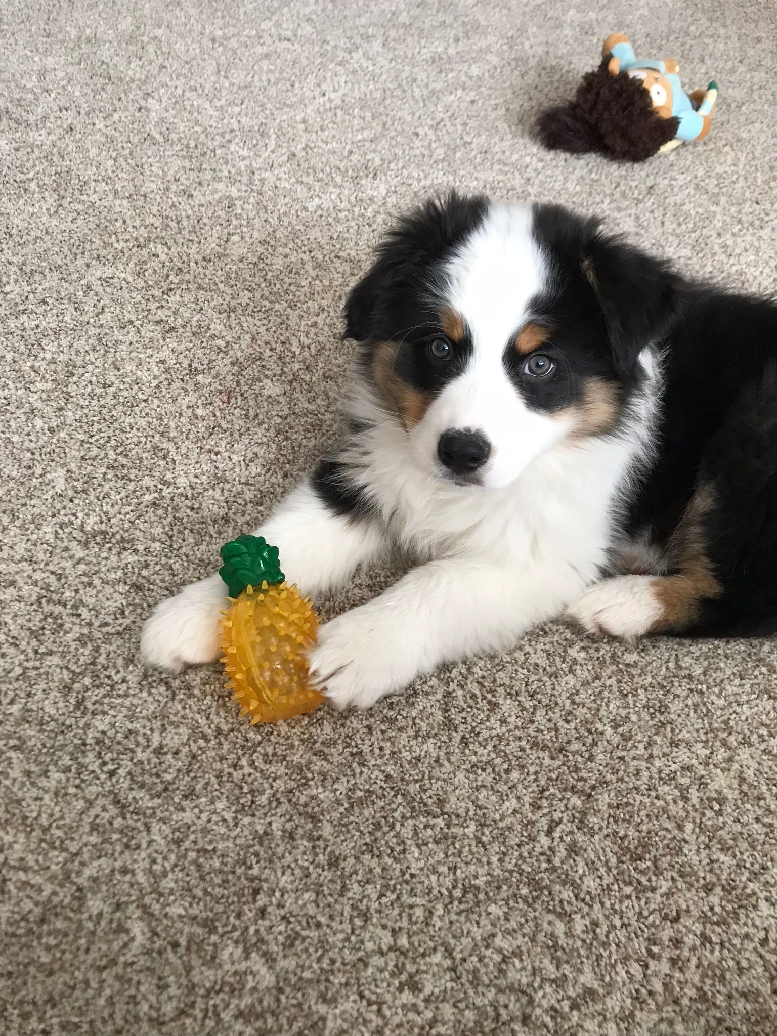 Tri Colored Aussie Little Boy Basil Mini Aussie Puppy Mini Australian Shepherds Aussie Puppies