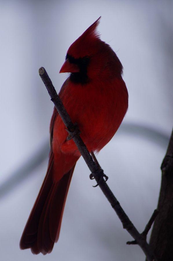 Northern cardinals vector image on | Tiny bird tattoos ...  |Cardinal Silhouette Tattoo