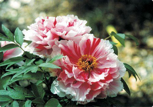 Aston Simms Com Exclusive Collection Of Imported Tree Peony Peonies For Sale Growing Peonies Tree Peony