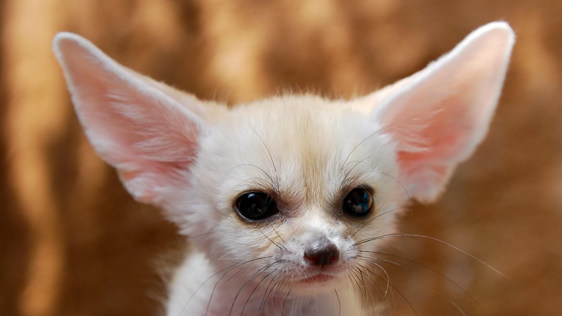 The Authority Guide For Fennec Fox Pet Owners Information About Vulpes Zerda Fennic Fox
