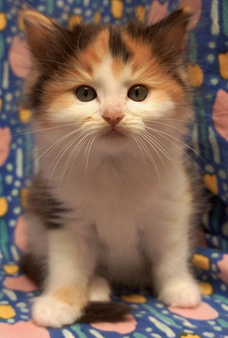 Calico ragdoll kitten | cute cats and funny cats | Pinterest ...