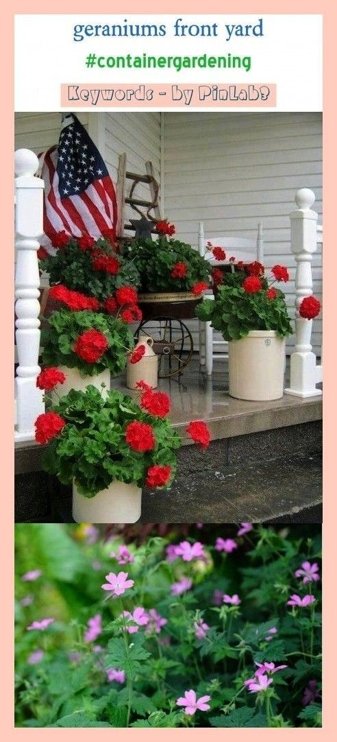 front yard geraniums in pots geraniums in containers geraniums essential oil geraniums balcony geraniums care geraniums garden geraniums in ground geraniums tattoo gerani...