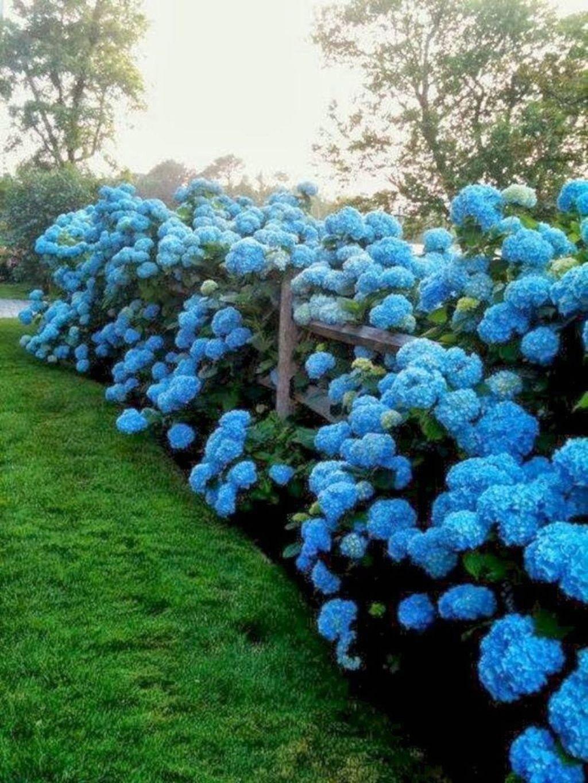 Gorgeous Hydrangeas Landscaping Design Ideas