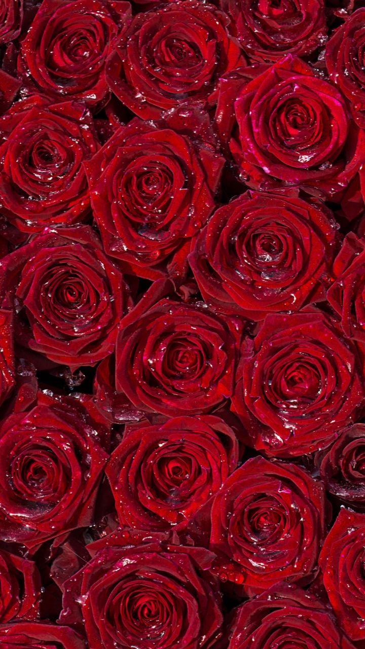 Red roses back ground samsung wallpaper download free - Samsung rose wallpaper ...