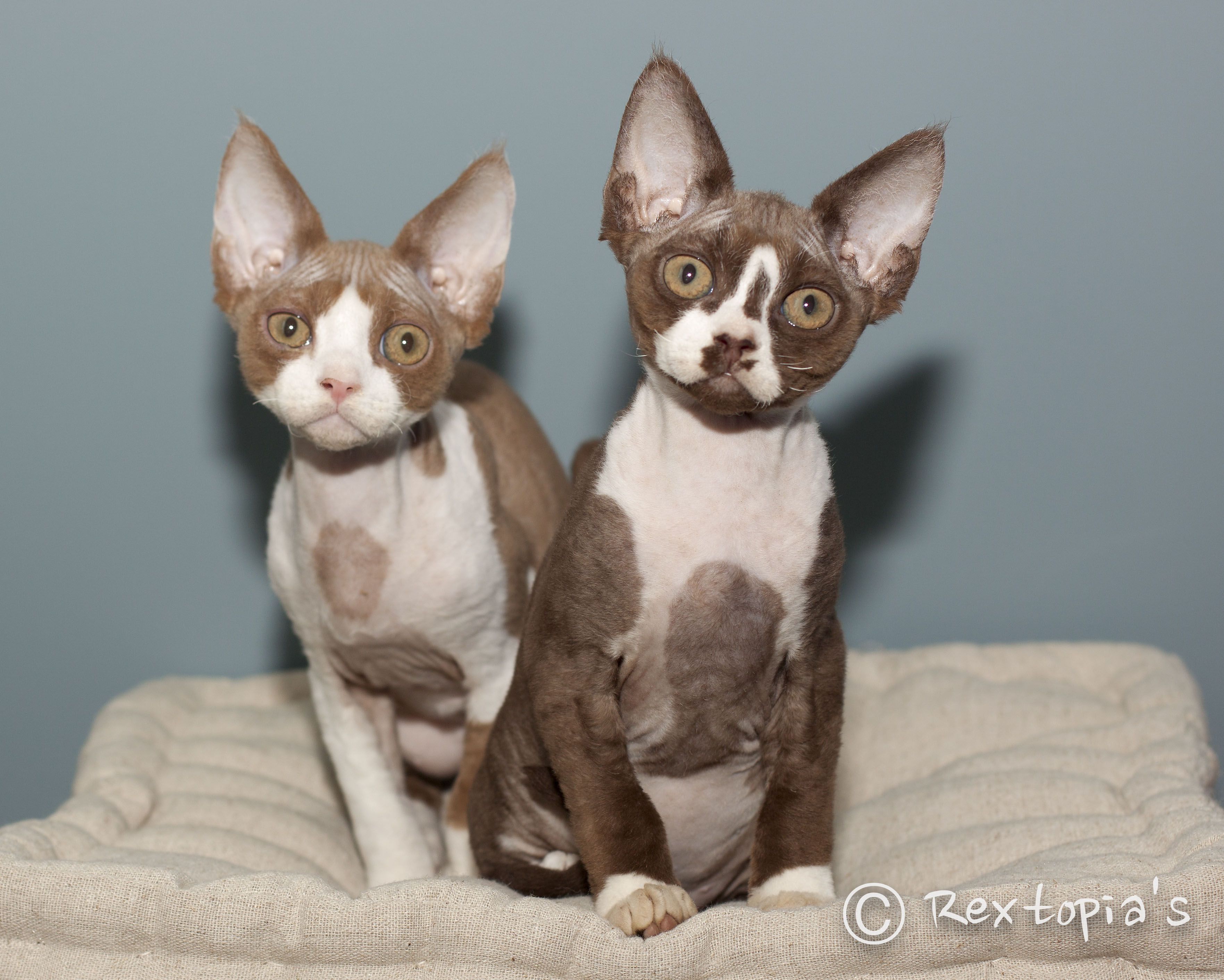 cinnamon & white and chocolate & white devon rex kitten