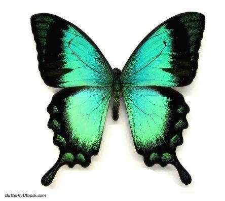 Papilio lorquinianus aqua blue/green swallowtail butterfly ...