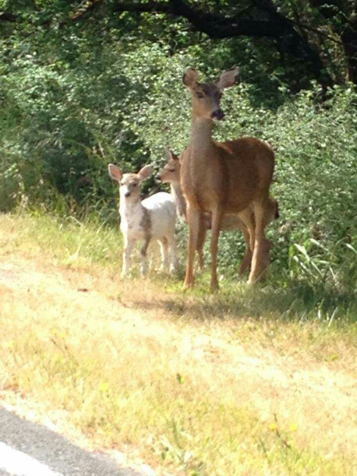 Mom and two fawns Oregon