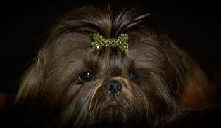 Shih Tzu A Vendre Quebec Puppy Grooming Shih Tzu Dog Shih Tzu