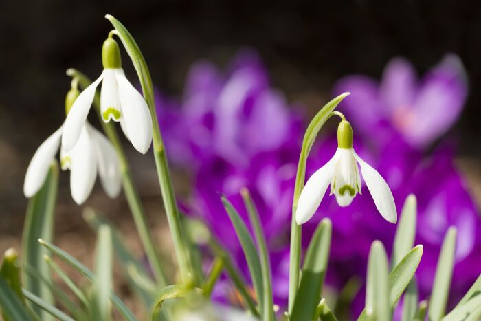 Snowdrop Flower Meaning Flower Meanings Spring Garden Flowers