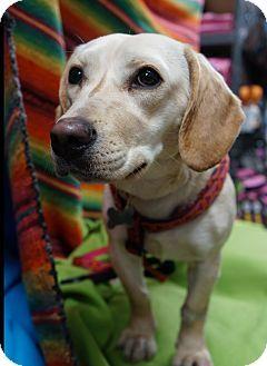 Memphis Tn Labrador Retriever Dachshund Mix Meet Akira A Dog