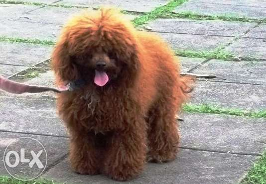 Stud Service Of Poodle Deep Red For Sale Philippines Find New And Used Stud Service Of Poodle Deep Red On Olx Poodle Deep Red Animal Lover