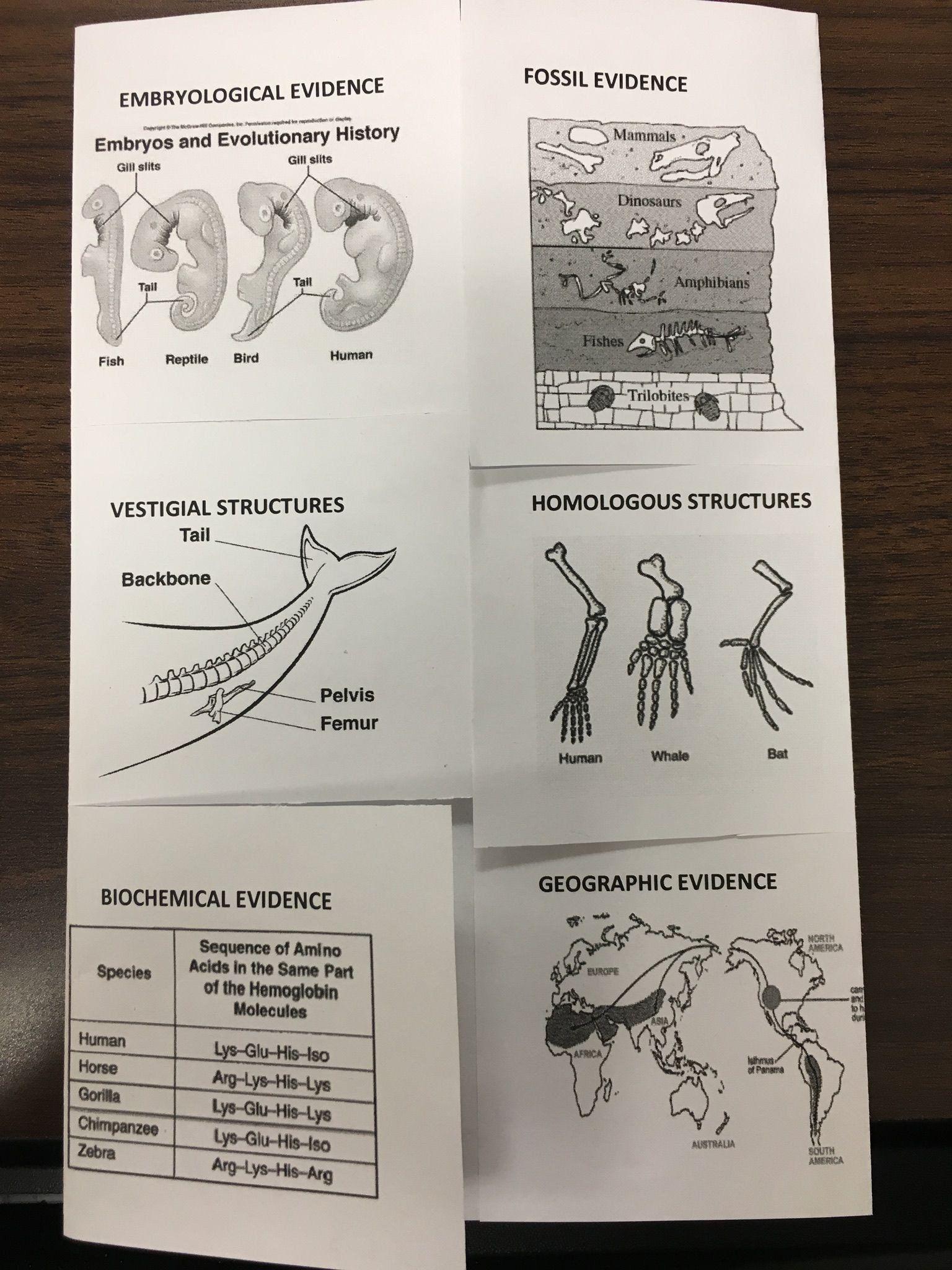 Evidence Of Evolution Worksheet Fossil Evidence Of ...