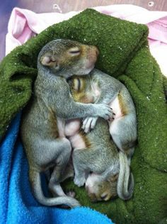 Baby Squirrels Today S Dose Of Squirrel Cuteness Waitingforredsandgrays Cute Baby Animals Baby Squirrel Cute Squirrel