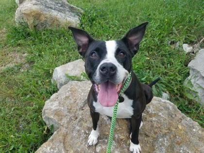 Bulloxer Dog For Adoption In Kansas City Mo Adn 736913 On