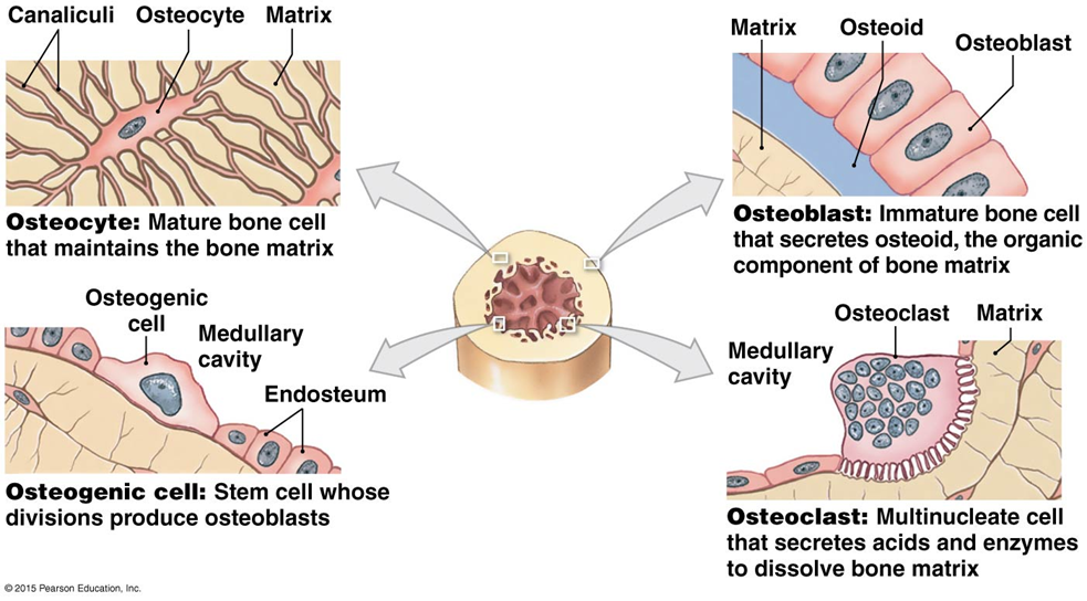 The Four Types Of Bone Cells Types Of Bones Labeling Activities Human Anatomy And Physiology