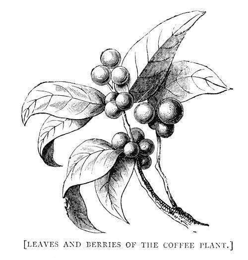 Image Result For Coffee Plant Illustration Vintage Body Art