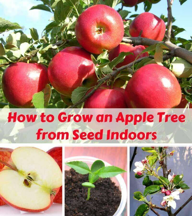 How to Grow an Apple Tree from Seed Indoors Apple tree