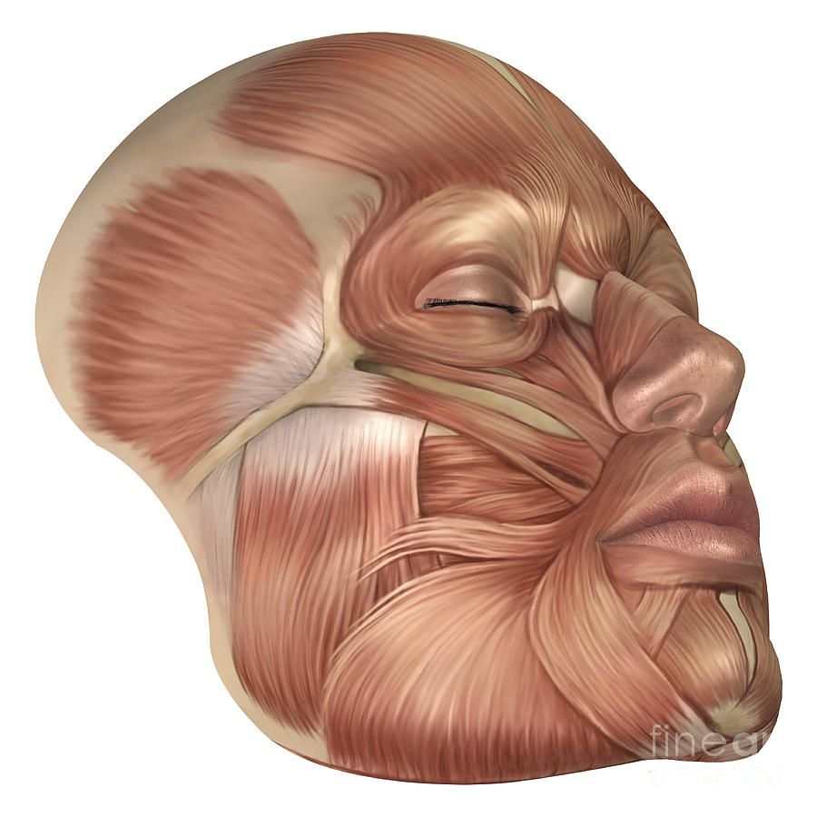 anatomy of human face muscles | anatomy, digital art and muscles, Muscles