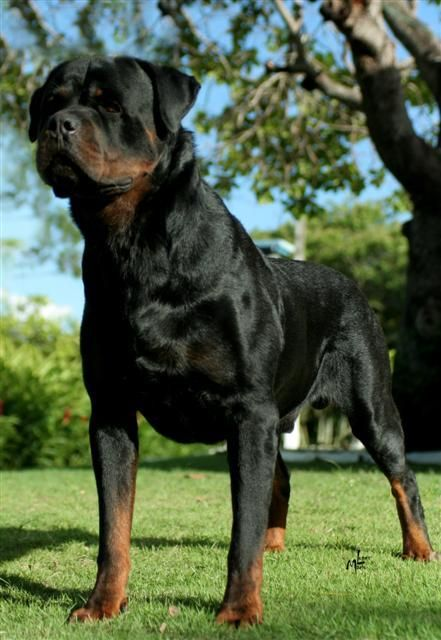 rottweiler rottweiler pinterest riesenschnauzer hunde und hund und katze. Black Bedroom Furniture Sets. Home Design Ideas