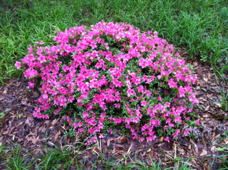 Late Flowering Azaleas Azaleas, Plants, Garden