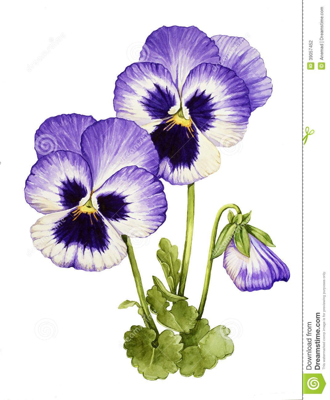 Illustration About Watercolor With Pansies On White Background Illustration Of Pansy Gardening Petal 39 Pansies Flowers Watercolor Flowers Flower Painting