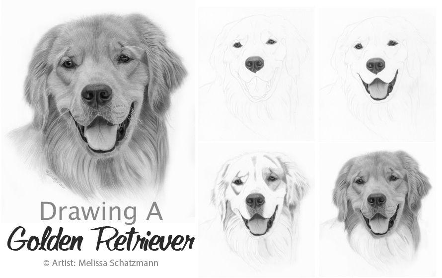 Drawing Lesson How To Draw A Golden Retriever Golden Retriever