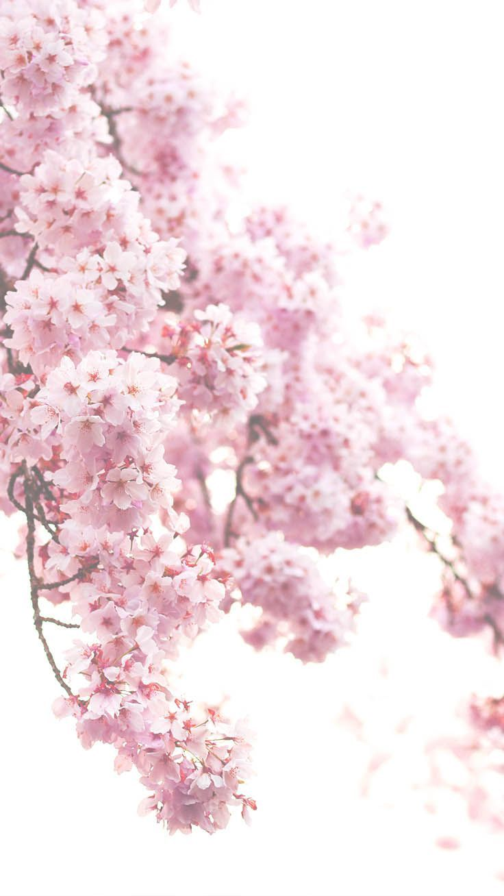 13 Gorgeous Spring Blossom Iphone Wallpapers Iphone 壁紙 壁紙 春