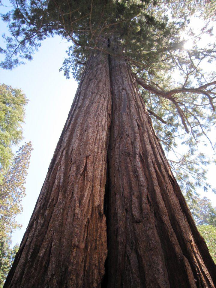 Oldest living Tree's