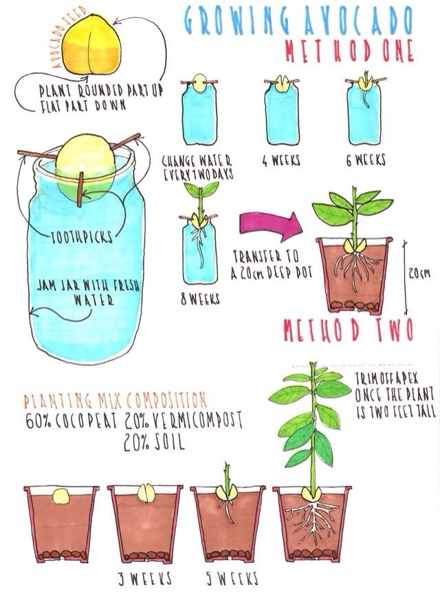 How To Grow An Avocado Plant From An Avocado Pit