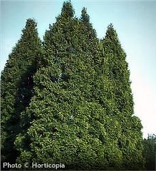 American Arborvitae - Thuja occidentalis.View is un pruned. grows to a height of 40–60' and a spread of 10–15' at maturity.