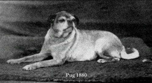 What Pugs Used To Look Like Back In The Day Pugs Popular Dog
