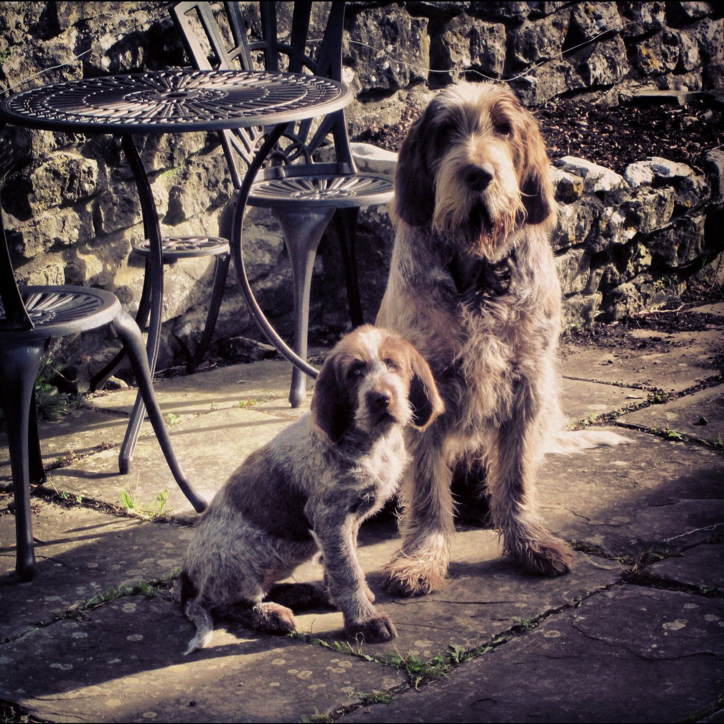 Image of italian spinone brown roan young puppy blue sitting cute - Spinone Italiano Italian Griffon Puppy Dog