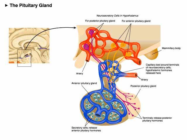 The Pituitary Gland Diagram Google Search Medicine Pinterest