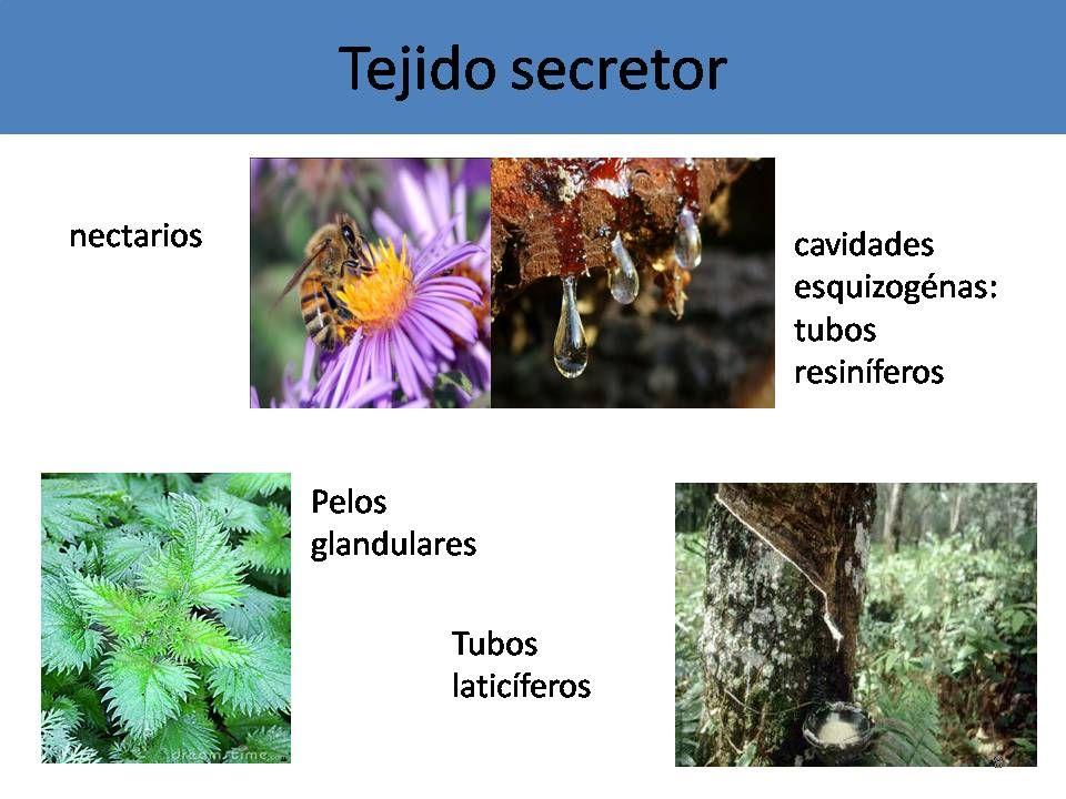 Tejido secretor est formado por c lulas vivas for Que planta para muro exterior vegetal