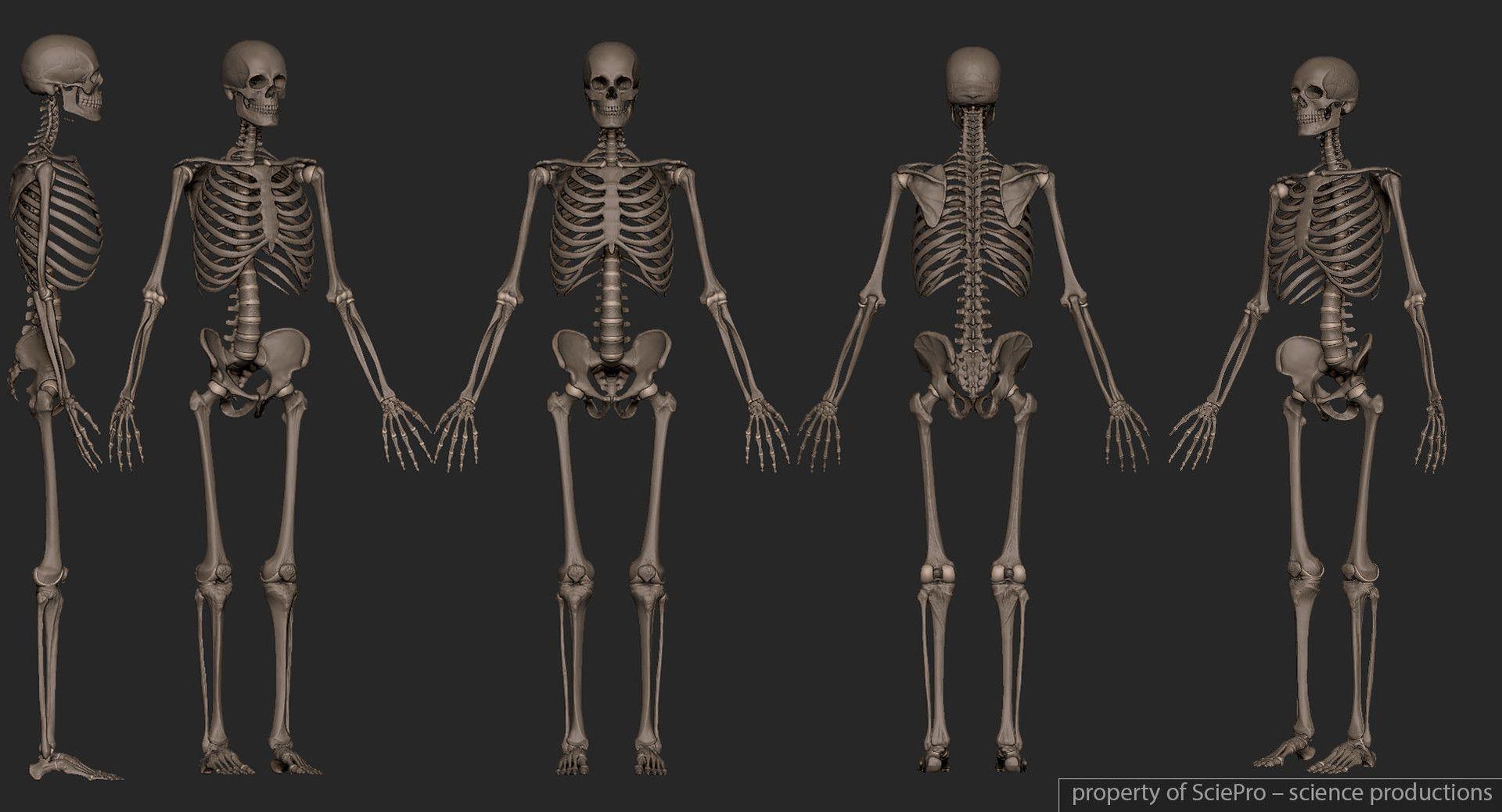 boris-moskalenko-160101-fullskeleton (1920×1038) | anatomy, Skeleton