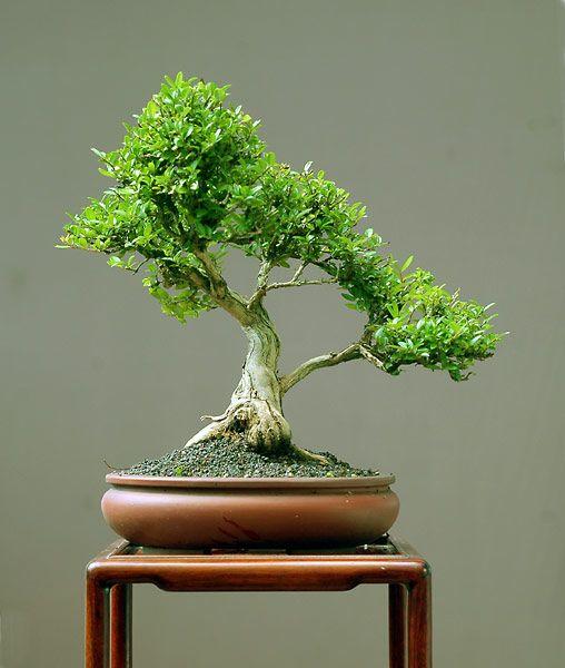 Delicate Bonsai With Images Bonsai Tree Tattoos Bonsai Tree