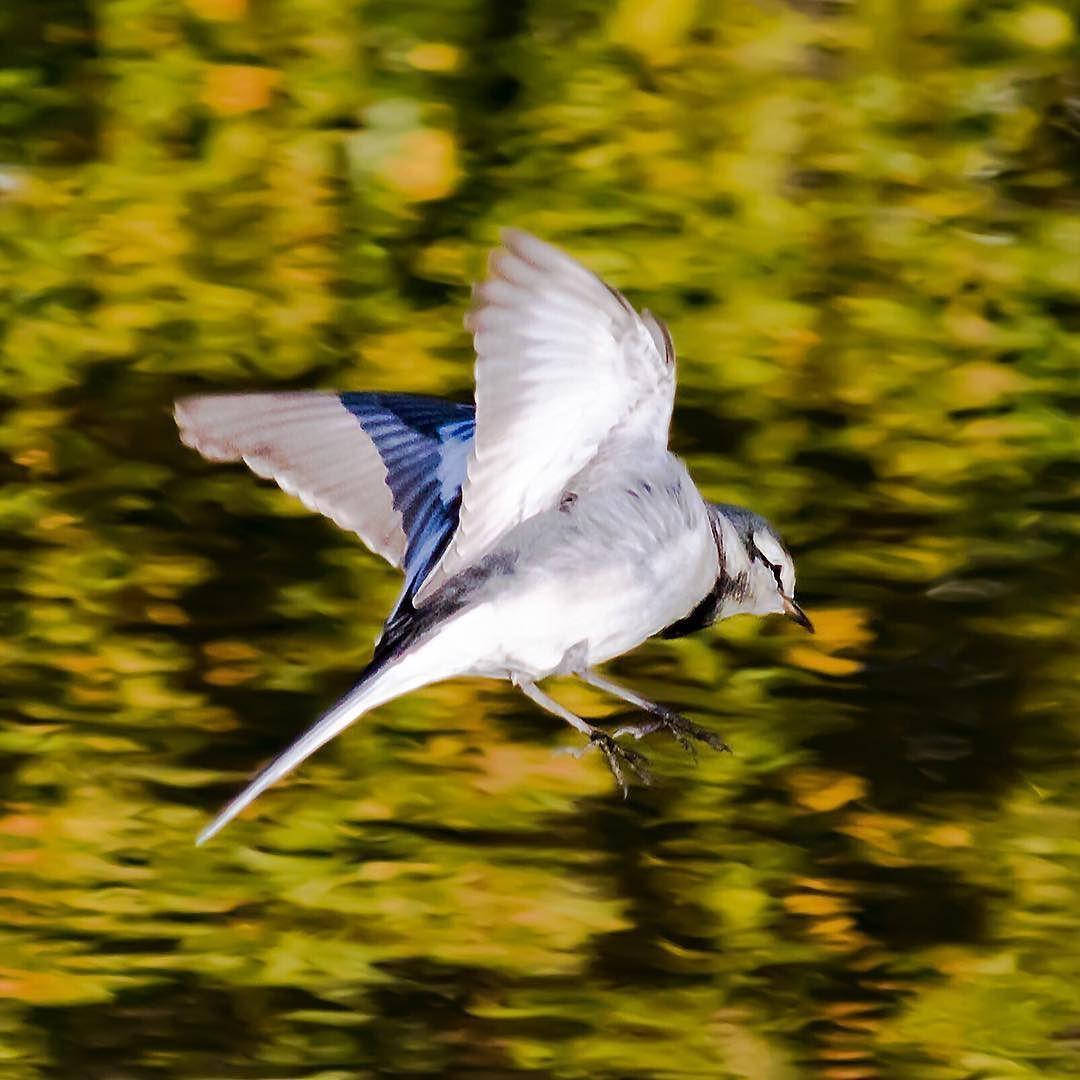 水辺のハクセキレイ  パタパタ  #ハクセキレイ#whitewagtail#セキレイ#wagtail #鳥#bird#野鳥#Wildbird#birdwatching #小鳥#pocket_birds #動物#animal #かわいい#kawaii#cute #風景#自然#景色#picture#landscape#nature #東京#tokyo#日本#japan#love#loves_nippon #写真好きな人と繋がりたい #一眼レフ