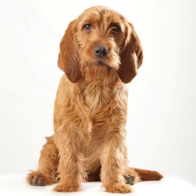 Pin Van Céline Vr Op Basset Fauve De Bretagne Mooie Honden Hondjes Honden