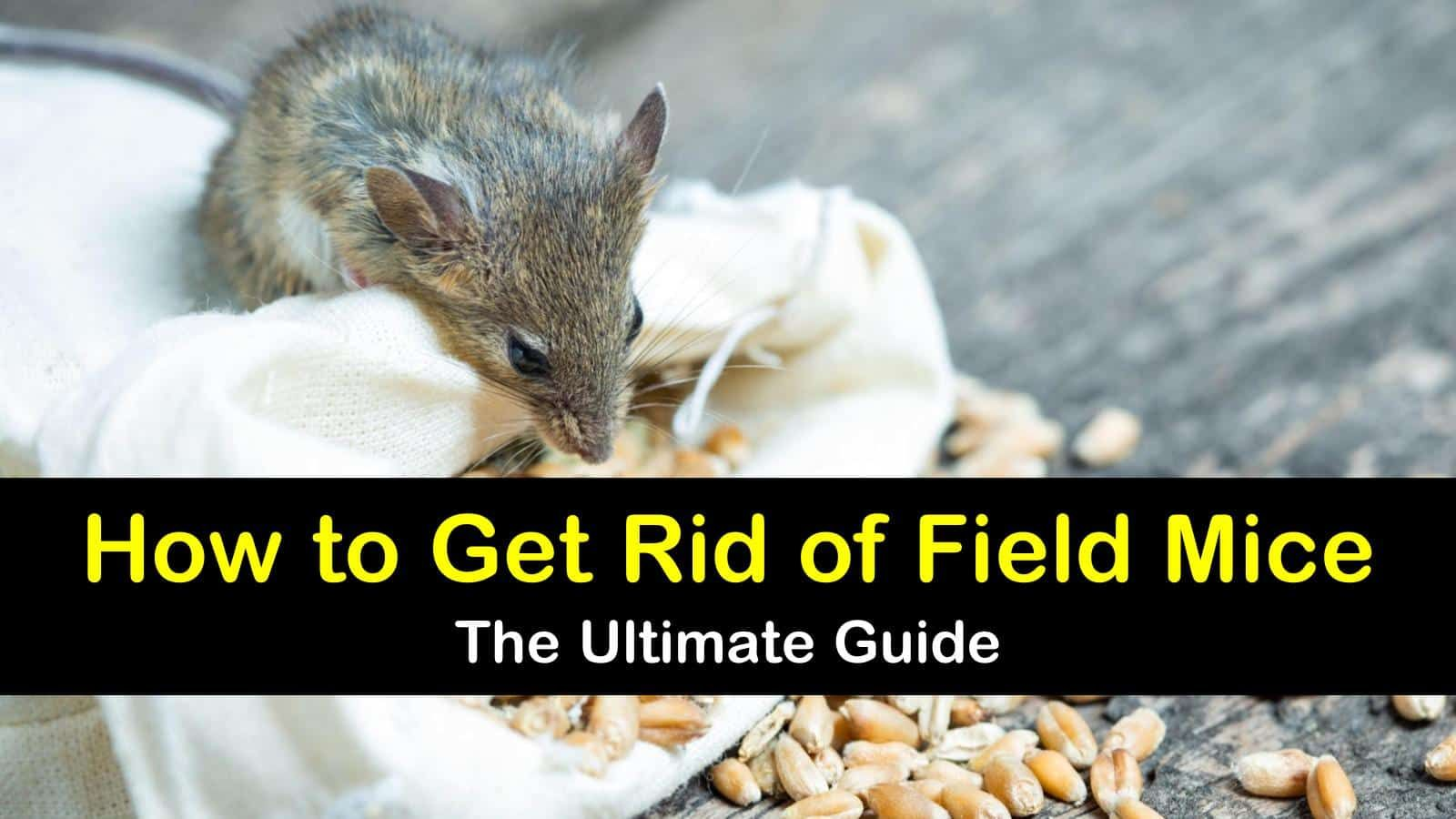 8 Smart Ways to Get Rid of Field Mice Field mouse