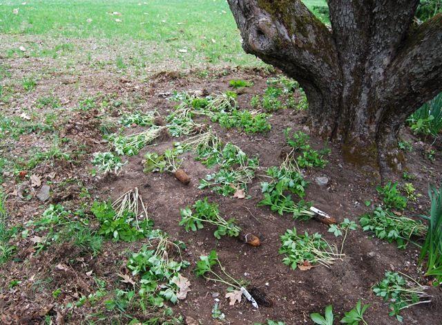 Final, dripline on mature trees